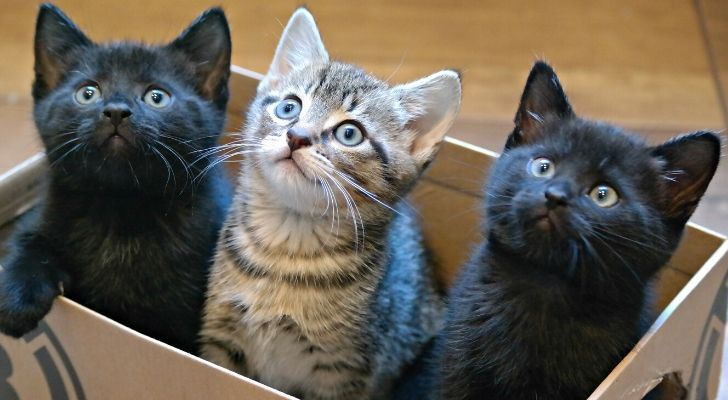 3 kittens in a box, two are black and the one in the middle is gray