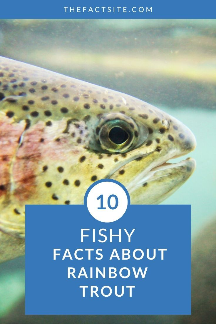 10 Fishy Facts About Rainbow Trout