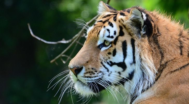 A fierce looking tiger staring in the distance