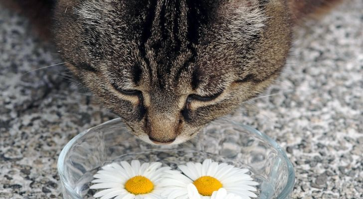 A cat sniffing daisies in a bowl