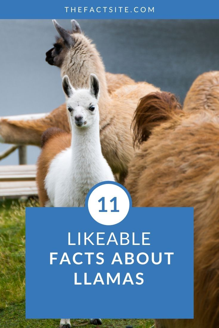 11 Likable Facts About Llamas