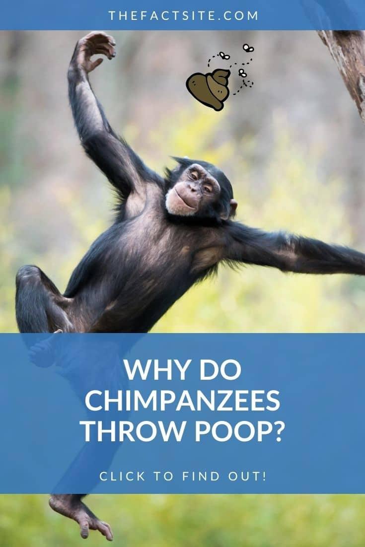 Why Do Chimpanzees Throw Poop?