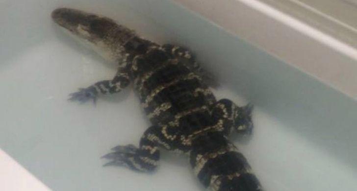 An alligator chilling in a bathtub