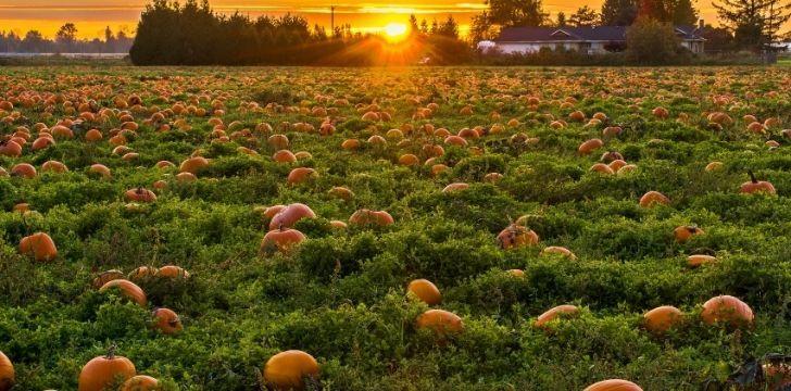 Lots of pumpkins on a pumpkin patch
