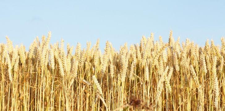 Dry wheat fields