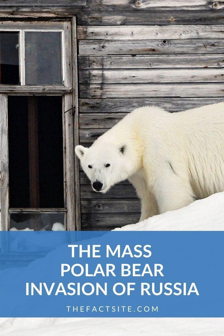 The Mass Polar Bear Invasion Of Russia