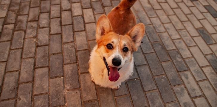 A corgi looking to the camera for attention