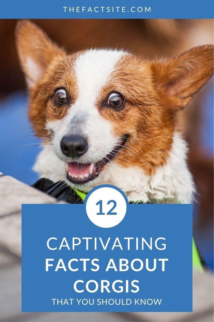 12 Captivating Facts About Corgis That You Should Know