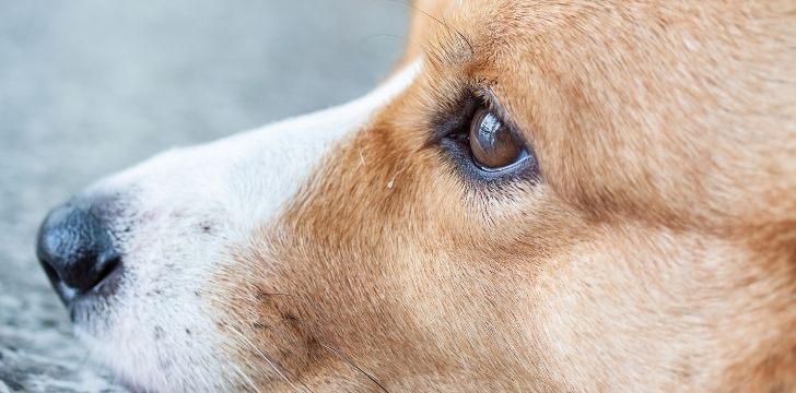 Closeup of a corgi looking intently to the side