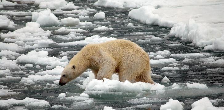 Polar bear trying to climb across floating ice