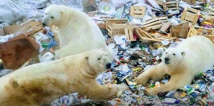 Polar bears sifting through lots of trash