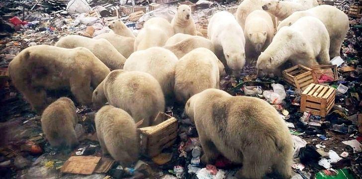 Many polar bears rummaging through garbage