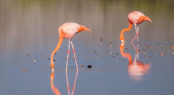 Two flamingos eating
