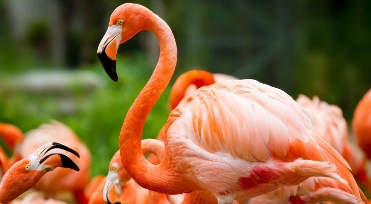 A majestic pink flamingo