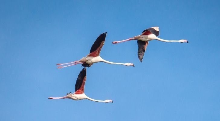 Three flamingos flying in the sky with their legs straight out behind them