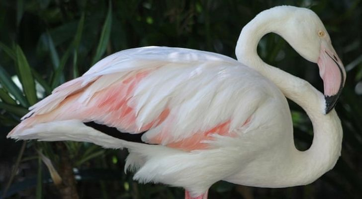 Greater was the oldest known flamingo