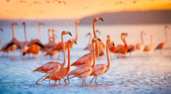 Many beautiful pink flamingos