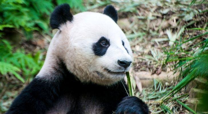 A great panda eating