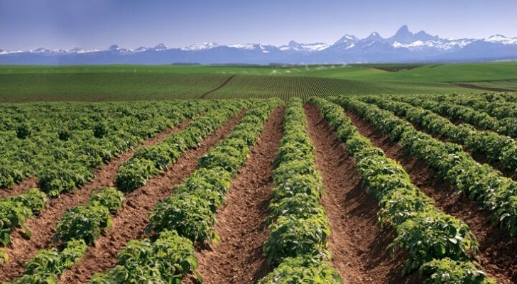A potato farm with dramatic mountains in the distance
