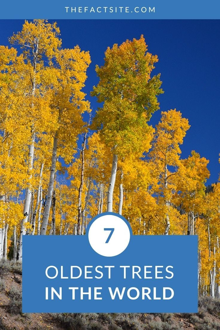 7 Oldest Trees In The World