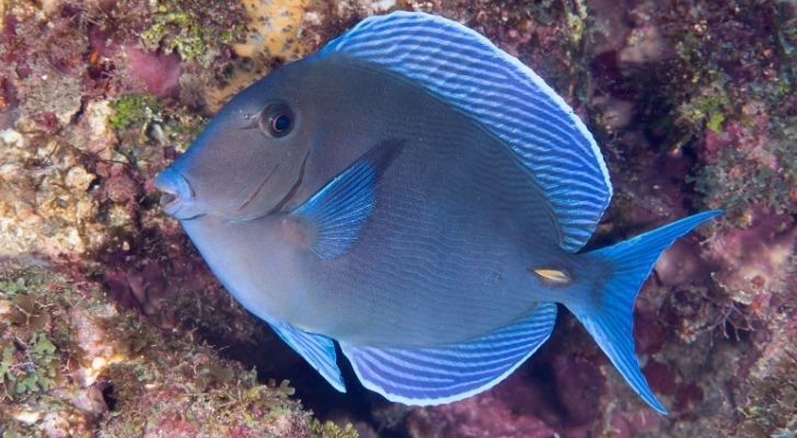 The blue tang of the Atlantic which looks similar