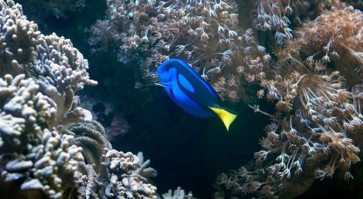 A blue tang swimming around looking lonely
