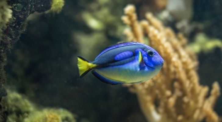 Blue tangs have sharp fins