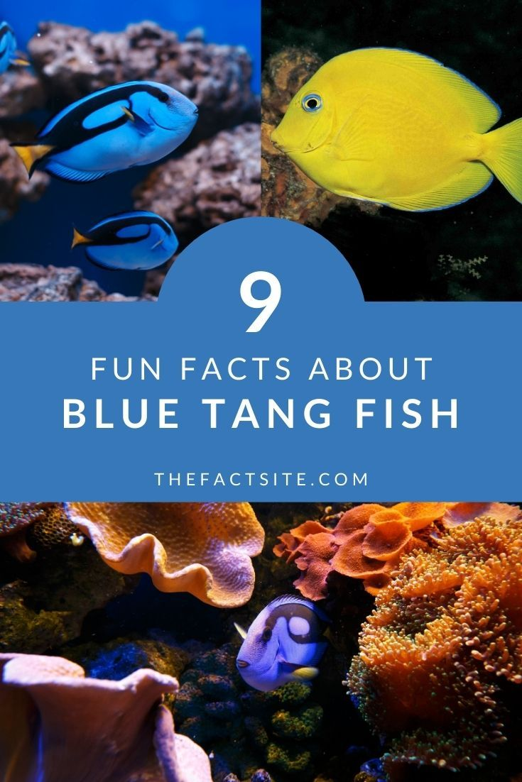 9 Fun Facts About Blue Tang Fish