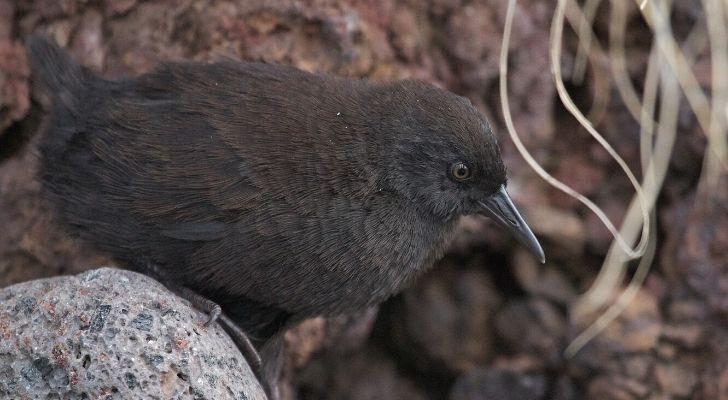A small brown Inaccessible Island rail bird
