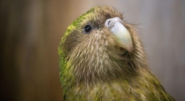 The kakapo is the only flightless parrot