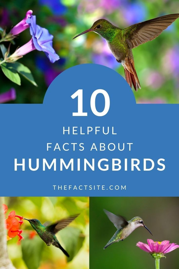 10 Helpful Facts About Hummingbirds