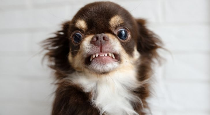 An aggressive looking Chihuahua