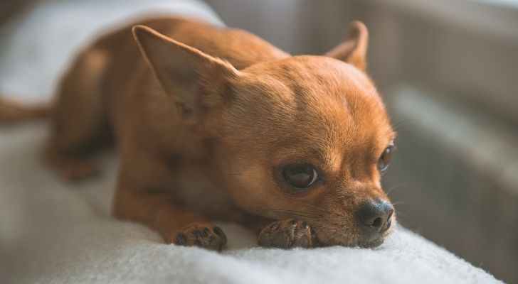 A brown Chihuahua laying on a sofa