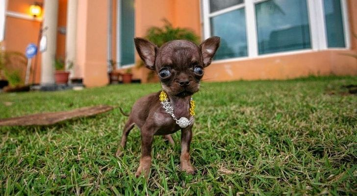Milly is the smallest dog in the world