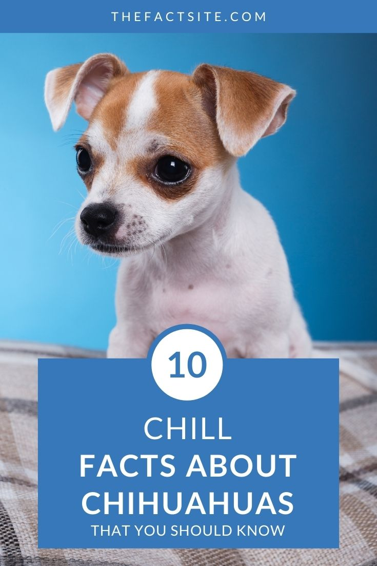 10 Chill Facts About Chihuahuas That You Should Know