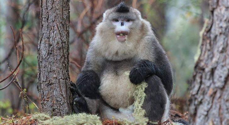 A Black Snub Nose monkey