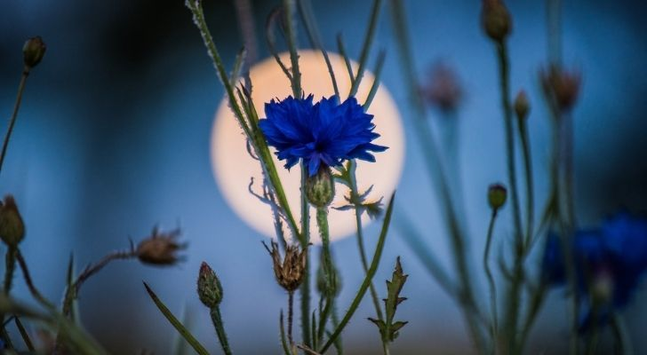 A pretty blue flower with the moon behind it in the sky