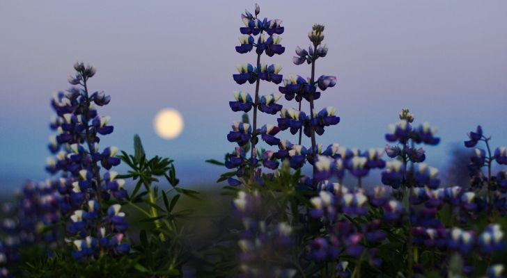 Purple blooming flowers with the moon behind