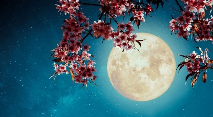 Pink blooms from a tree branch with the May moon shining bright behind