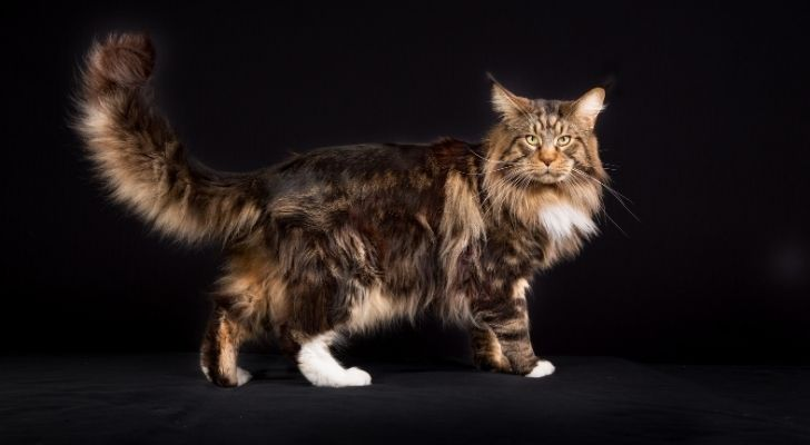 The long haired Maine Coon cat