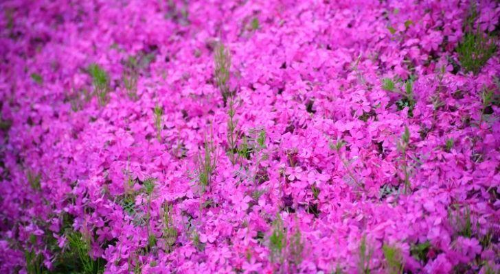 पूर्ण फूल में गुलाबी फुलका फूल