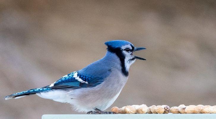 A hawking Blue jay bird