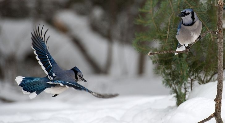 A Blue jay bird flying