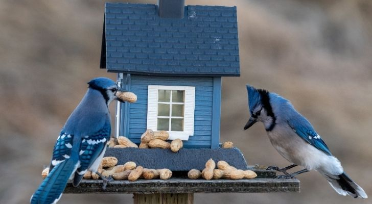 Two Blue jay birds standing on a bird house