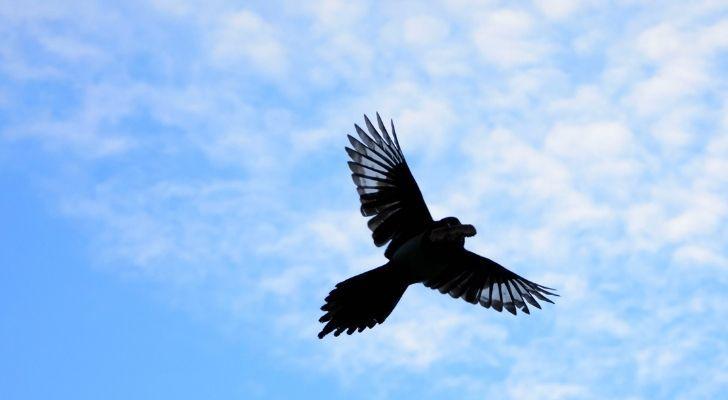 A Blue jay bird migrating
