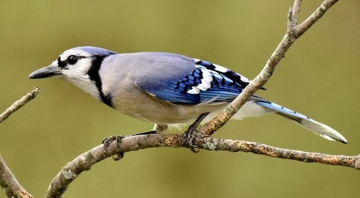 Blue jay birds were significant to native Americans