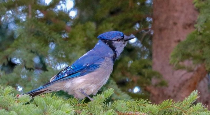A Blue jay bird standing on a tree branch