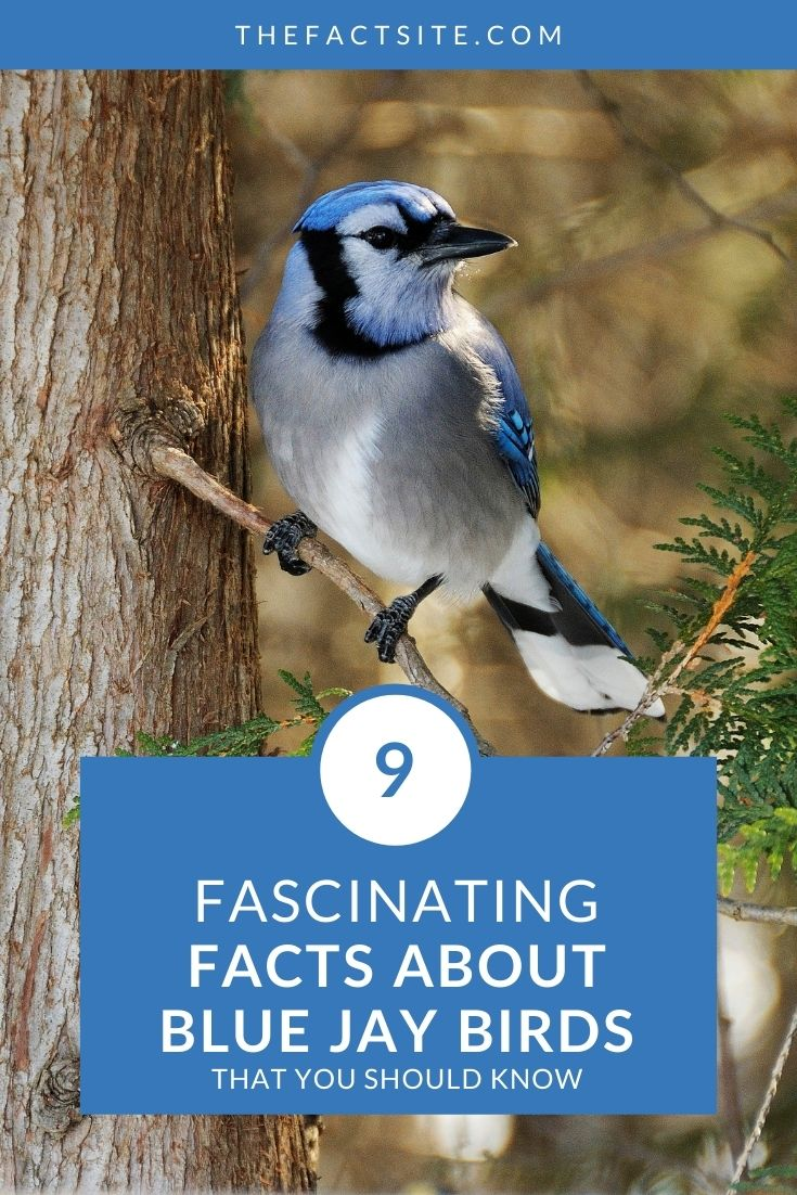 9 Fascinating Facts About Blue Jay Birds