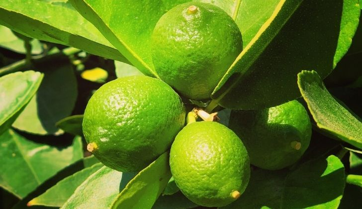 Four yummy limes growing on a lime tree