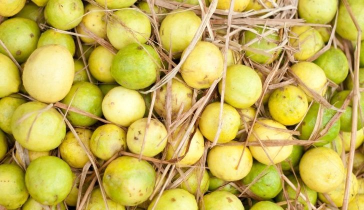 Yellow limes in hay